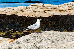 Diferents views of thea seagull in St. Andrews beach in his bay, Royalty Free Stock Images
