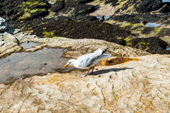 Diferents views of thea seagull in St. Andrews beach in his bay, Stock Photo