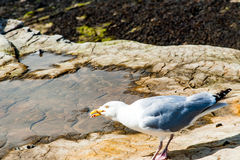 Diferents views of thea seagull in St. Andrews beach in his bay, Royalty Free Stock Photo