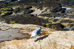 Diferents views of thea seagull in St. Andrews beach in his bay, Royalty Free Stock Image