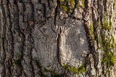 Difetto di una corteccia di albero sotto forma di occhio fotografia stock