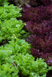 Différence de couleur, couleur de salade Photo libre de droits