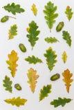 Différent dans la taille et couleur des feuilles et des glands de chêne Image libre de droits