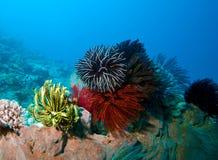 Différentes étoiles de clavette. Sumbawa, Indonésie Image stock