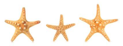 Différentes étoiles de mer dans une rangée Image libre de droits