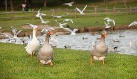 Différentes espèces d'oiseaux au lac Image stock