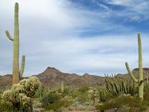 Différentes espèces de cactus en monument national de cactus de tuyau d'organe, Arizona, Etats-Unis Image stock