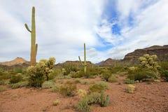 Différentes espèces de cactus en monument national de cactus de tuyau d'organe, Arizona, Etats-Unis Photographie stock