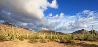 Différentes espèces de cactus en monument national de cactus de tuyau d'organe, Arizona, Etats-Unis Photo stock