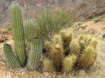 Différentes espèces de cactus en monument national de cactus de tuyau d'organe, Arizona, Etats-Unis Image libre de droits
