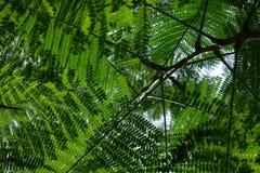 Différentes nuances de vert des feuilles de Moringa images stock
