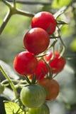 Différentes tomates-cerises colorées Image stock
