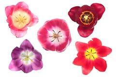 Différentes tulipes de couleur Image libre de droits
