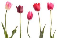 Différentes tulipes de couleur Photo libre de droits