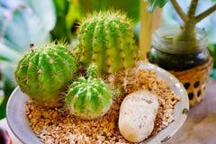 Différentes usines de cactus dans des pots de fleurs sur la table en bois Photographie stock