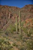 Différentes variétés ou espèces de cactus s'élevant dans un désert Photo libre de droits