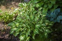 Différents buissons de hosta dans le jardin d'ombre Image stock