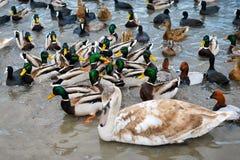 Différents genres de canards sur la plage Photos stock