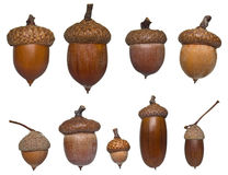 Différents type et tailles de gland Image libre de droits