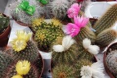 Différents types de cactus de floraison sur un compteur de magasin image stock