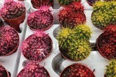 Différents types de cactus de floraison sur un compteur de magasin photo libre de droits