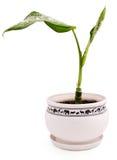 Diffenbachia de plante verte dans le bac Images libres de droits