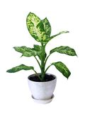 Diffenbahia or Dieffenbachia  Royalty Free Stock Photos