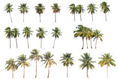 Difference of coconut tree isolated on white Stock Photos