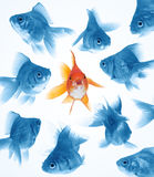 Difference by goldfish. Outstanding goldfish in middle, difference from others Stock Photo