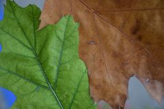 Difference. Green and brown leaf difference in fall Stock Image