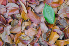 The difference of nature. Leaves which are colored differently from the group Royalty Free Stock Image