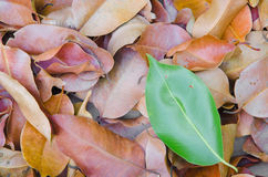 The difference of nature. Leaves which are colored differently from the group Royalty Free Stock Photography