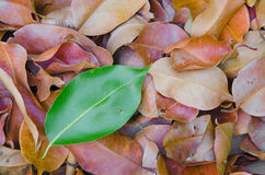 The difference of nature. Leaves which are colored differently from the group Stock Photography
