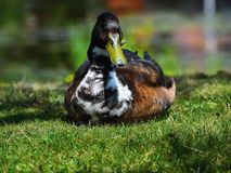 Duck breeds Ranger royalty free stock image