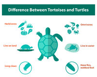 Difference between tortoises and turtles, vector Royalty Free Stock Photography