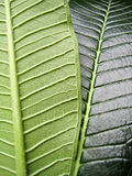 Differences of leaf. Front and back Royalty Free Stock Images