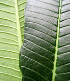 Differences of leaf. Front and back Royalty Free Stock Image