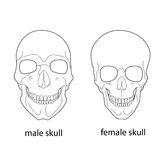 Differences of male and female skull. Stock Images