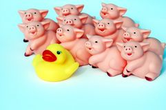Different. A group of pigs and a one rubber duck in the middle royalty free stock images