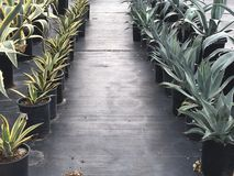 Different Agaves. Lanes of different drought tolerant agaves lined up on black plastic Royalty Free Stock Photography