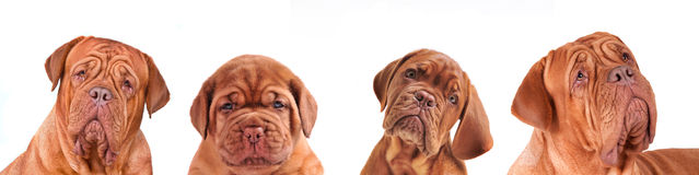 Different ages 4 Dogues De Bordeaux Dogs Portraits stock image