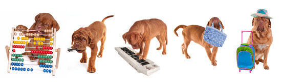 Different ages puppies in different occupations. Different ages Dogue De Bordeaux Puppies in different occupations (counting with abacus, carrying mobile phone Royalty Free Stock Image