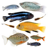 Different aquarium fishes isolated on white Royalty Free Stock Image