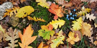 Different Autumn Leaves. Assortment of different varieties and colors of fallen autumn leaves stock image