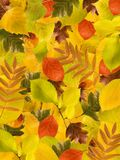 Different autumn leaves background Royalty Free Stock Image