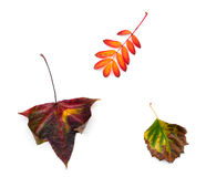 Different autumn leaves on white Royalty Free Stock Photo