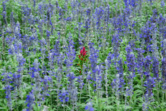 The different. A beautiful red flower among blue royalty free stock photo