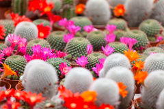 Different blossoming cactuses Royalty Free Stock Photo