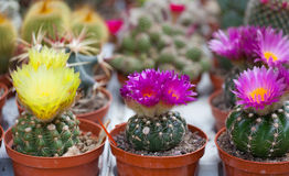Different blossoming cactuses Stock Image
