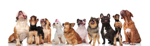 Different breeds of curious dogs looking up and panting. While standing and sitting on white background stock illustration
